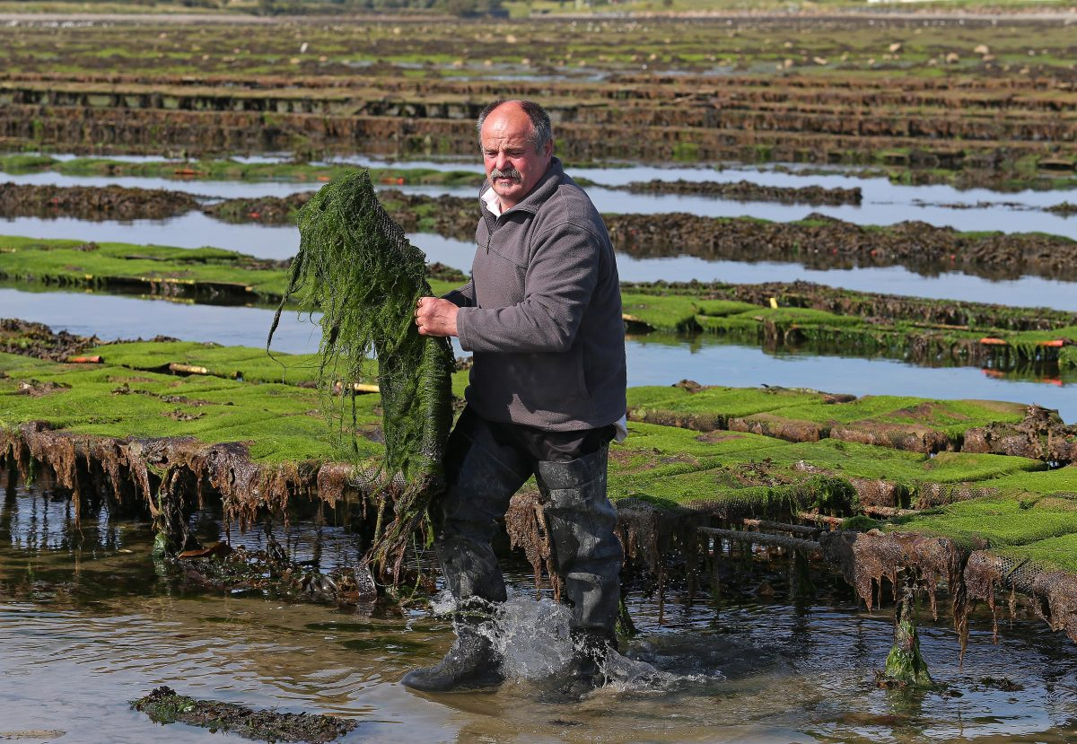 Oyster farmer Patrice Bonnargent in Killough County Down. Picture by Mal McCann